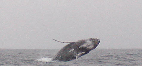 Exalting humpback whale