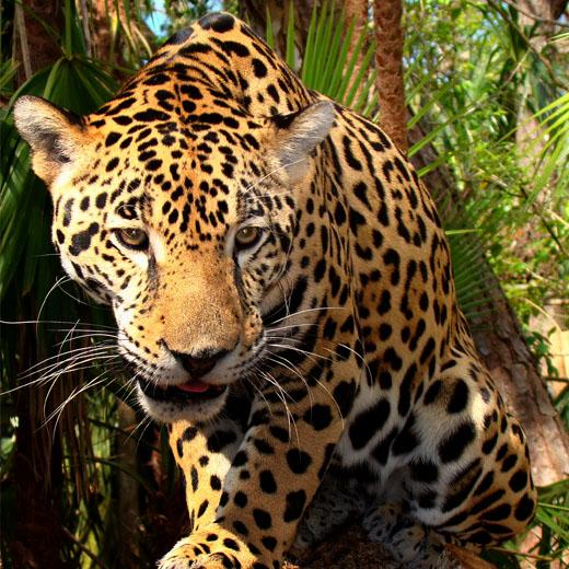 Jaguar - Amazon - Luxury Peru Tour 6
